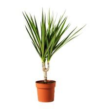 dracaena-marginata-plante-en-pot__0112750_PE264649_S4